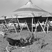 American Circus-Theatre / A dog nibbles a sheep in front of the big top in Colonia Itapebí, Salto, northwestern Uruguay, on August 27, 1996.